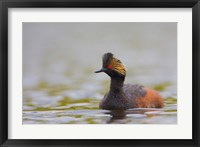 Framed Canada, British Columbia, Eared Grebe, breeding plumage