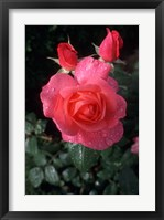 Framed English Rose in Butchart Gardens, Vancouver Island, British Columbia, Canada