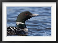Framed British Columbia Portrait of a Common Loon bird