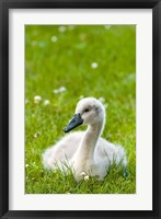 Framed Mute swan cygnet, Stanley Park, British Columbia