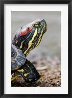 Framed Red-eared pond slider turtle, British Columbia
