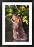 Framed American Beaver, Stanley Park, British Columbia