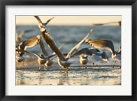 Framed Mew gulls, Stanley Park, British Columbia