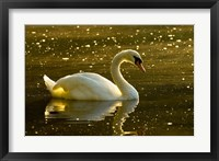 Framed Mute swan, Stanley Park, British Columbia