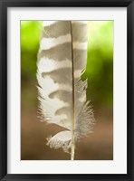 Framed Barred owl feather, Stanley Park, British Columbia