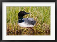 Framed British Columbia, Common Loon bird