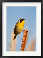 Framed British Columbia, Common Yellowthroat breeding territory