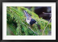 Framed British Columbia, Dark-eyed Junco bird in a conifer