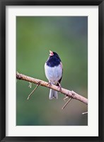 Framed British Columbia, Dark-eyed Junco bird, singing