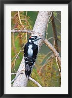 Framed British Columbia, Downy Woodpecker bird, male (back view)