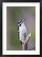Framed British Columbia, Downy Woodpecker bird, male (front view)