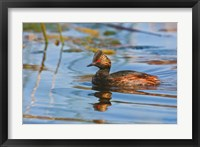 Framed British Columbia, Eared Grebe bird in marsh