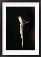 Framed British Columbia, Marsh Wren bird from a cattail