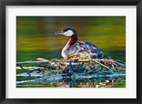 Framed British Columbia, Red-necked Grebe bird on nest