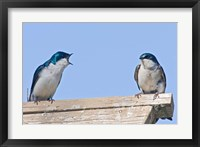 Framed British Columbia, Tree Swallows perched on bird house