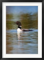 Framed British Columbia, Common Loon bird on lake