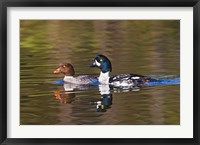 Framed British Columbia, near Kamloops, Common Goldeneye ducks