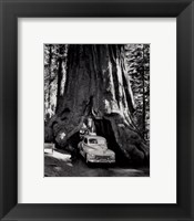 Framed tall redwood tree, or Sequoia,  through which a road has been cut- 1955