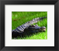 Framed Alligator - laying in the grass