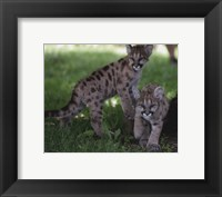 Framed Cougar cubs