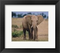 Framed Elephant In Green Field