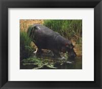 Framed Hippopotamus