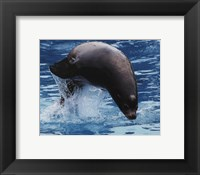 Framed Sea lion