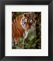 Framed Tiger - photo