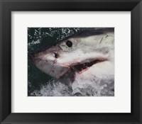 Framed Great White Shark