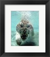 Framed White Bengal Tiger