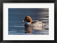 Framed Common Goldeneye Hen, Vancouver, British Columbia, Canada