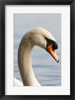 Framed British Columbia, Vancouver, Mute Swan bird