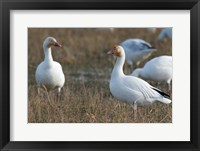Framed British Columbia, Westham Island, Snow Goose bird