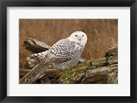 Framed Canada, British Columbia, Boundary Bay, Snowy Owl