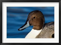Framed British Columbia, Westham Island, Pintail Duck