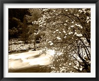 Framed Pacific Dogwood tree over the Merced River, Yosemite National Park, California