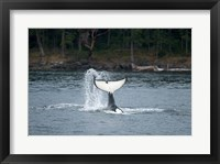 Framed Canada, Vancouver Island, Sydney Killer whale slaps its tail