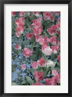 Framed Spring Tulips of Red and White Color, Victoria, British Columbia, Canada