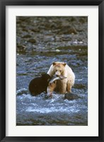 Framed Sow with Cub Eating Fish, Rainforest of British Columbia