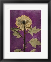 Framed Chrysanthemum Purple II