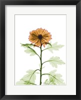 Framed Chrysanthemum 1