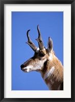 Framed Wyoming, Yellowstone NP, Male Pronghorn Wildlife