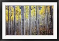 Framed Birch Woods