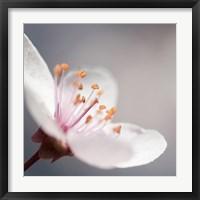 Framed Cherry Flower 1