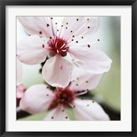 Framed Cherry Flower 2