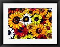Framed Sunflower Mix