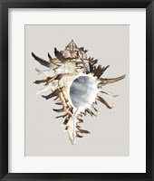 Black Murex Framed Print