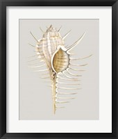 Spiney Murex Framed Print