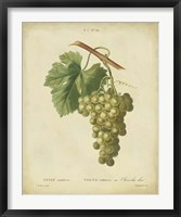 Framed Antique Bessa Grapes II