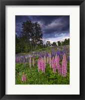 Framed Lupines on the Hill